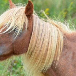 Virginia State Parks: Wild Pony long mane GH Grayson highlands State Park